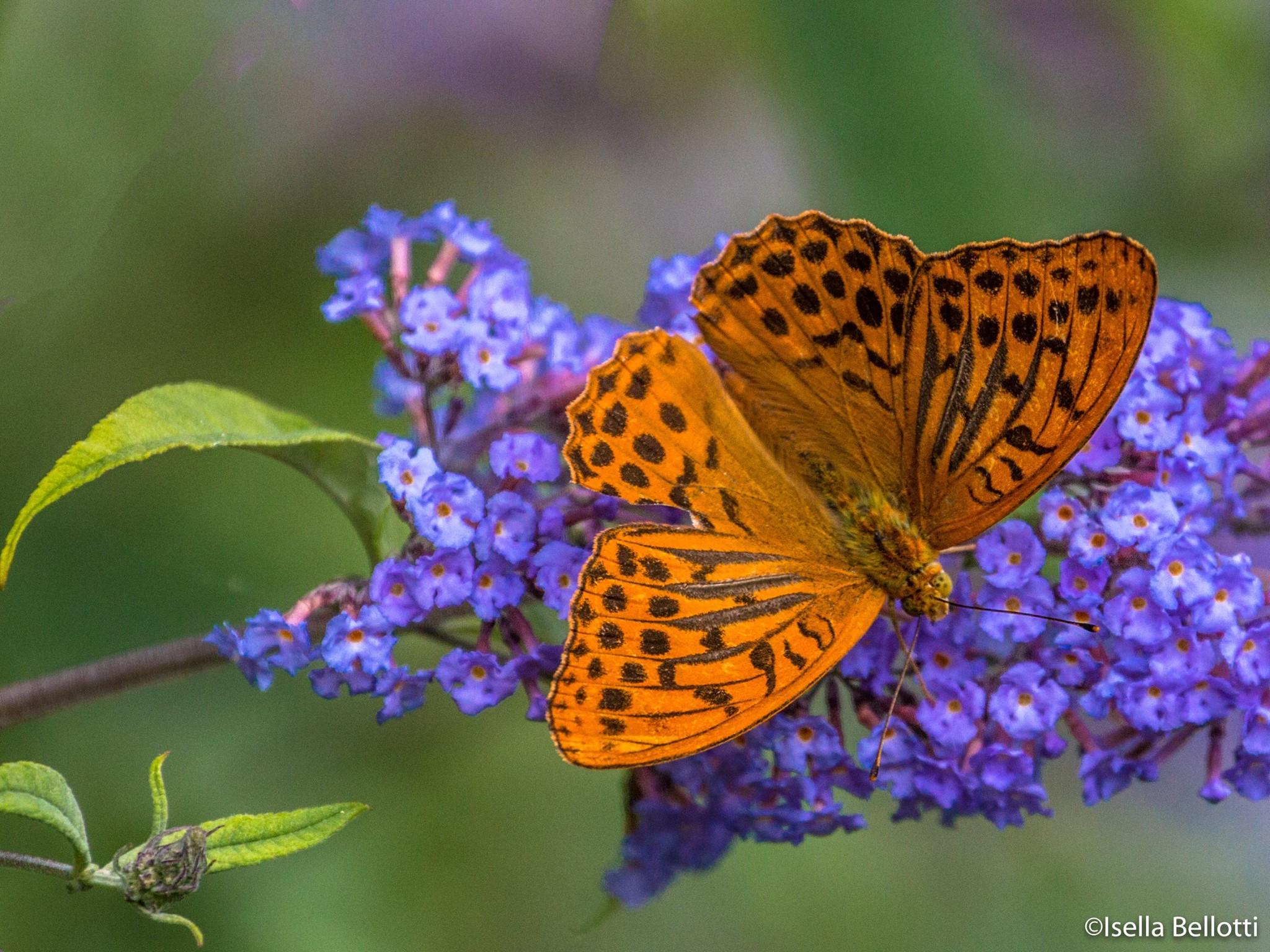 La foto del giorno di isella bellotti e 39 tempo di - Immagini di farfalle a colori ...