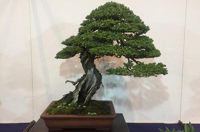 Lavena Ponte Tresa, da domani all'ART un'esposizione dedicata al fascino dei bonsai