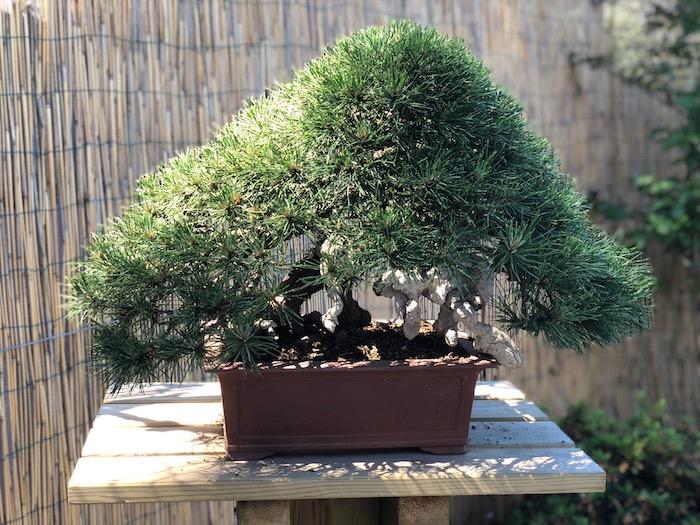 Un'elegante oasi giapponese di bonsai a Luino, la grande passione di Mario Pavone