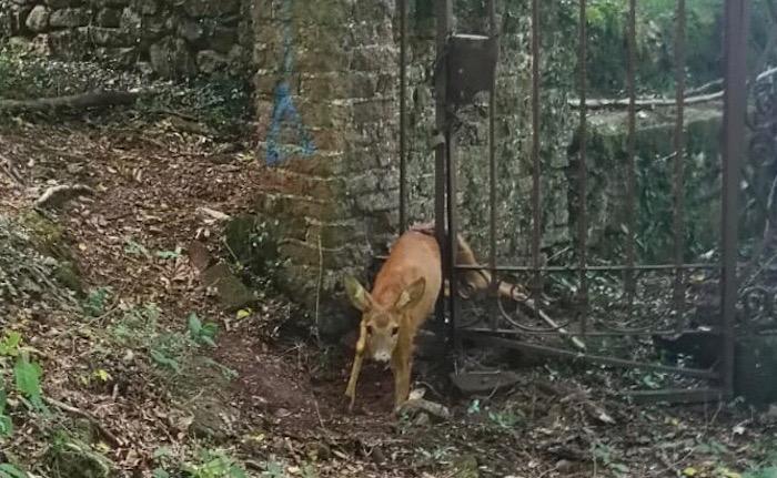 Valganna, un piccolo cervo rimane incastrato in un cancello. I vigili del fuoco lo liberano