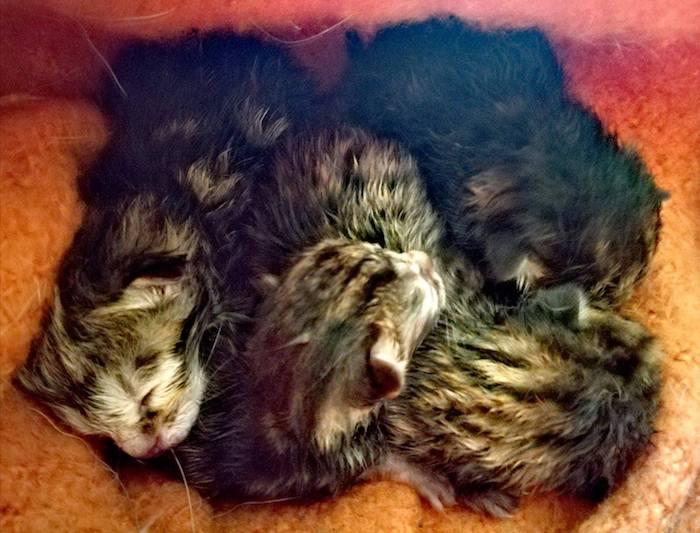 Castelveccana, abbandonati in un sacchetto quattro gattini appena nati