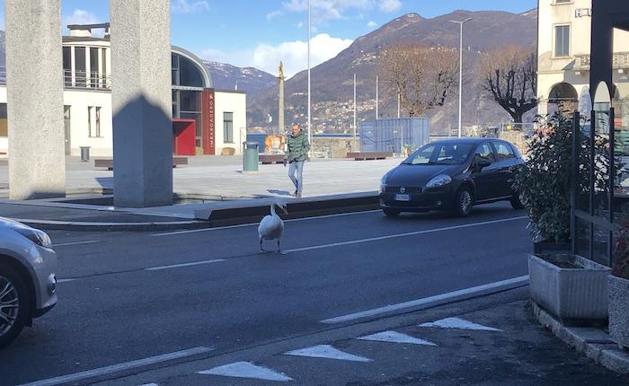 Luino, l'eleganza del cigno mentre attraversa la strada