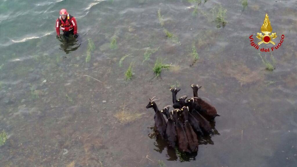I Vigili del Fuoco salvano delle capre intrappolate nelle acque del Lago d'Elio