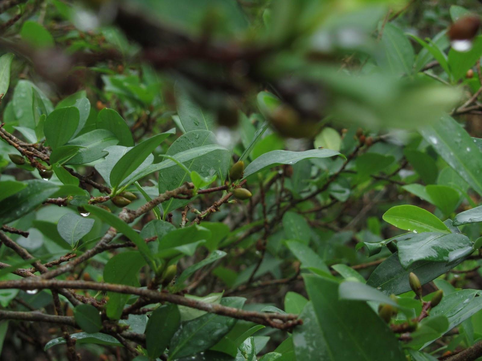 Piante Di Cacao : Lo stivale pensante le piante di coca sopravviveranno ai