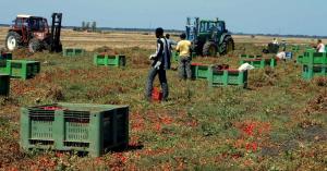La raccolta dei pomodori in un terreno pugliese (padernoforum.blogspot.com)