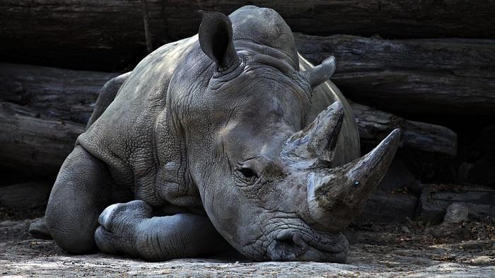 """Sudafrica, legalizzata vendita corni di rinoceronte. Wwf: """"Vicini a punto di non ritorno"""""""