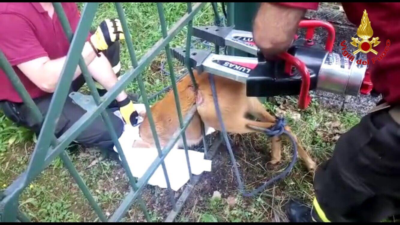 Porto Valtravaglia: i Vigili del Fuoco salvano un capriolo rimasto incastrato nel cancello di una casa