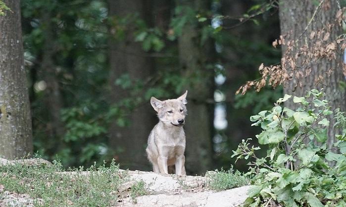 Caccia al lupo, alcune regioni non ci stanno. In Italia il 18% degli esemplari della Ue